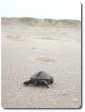 turtlette3.jpg