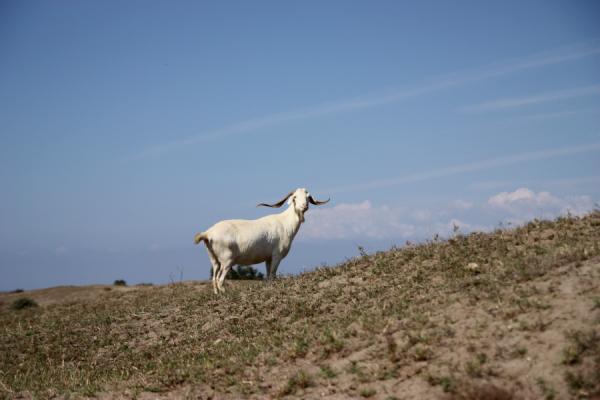 almeria-goat.jpg
